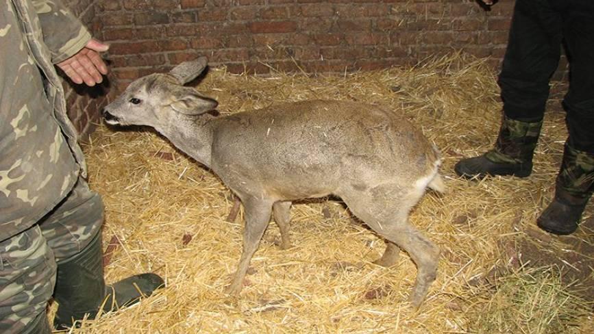 У Бершадському районі лісники врятували поранену та отруєну козулю