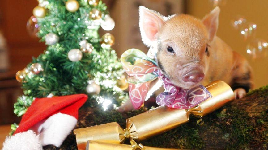 Вінницькі свинки: як живуть символи майбутнього року