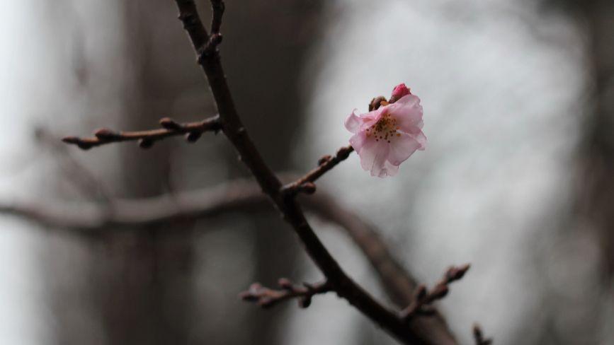 ФОТО ДНЯ. У Вінниці цвітуть сакури посеред зими