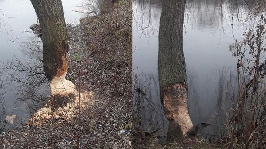 На Вишенському озері  хазяйнують бобри. Погризли чимало дерев