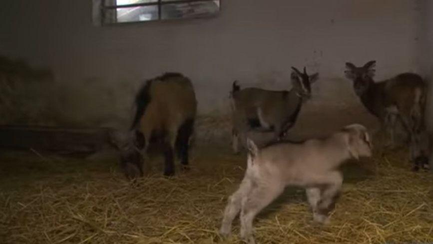 Бейбі-бум у зоопарку. Показали «немовлят», які народилися у новорічну ніч