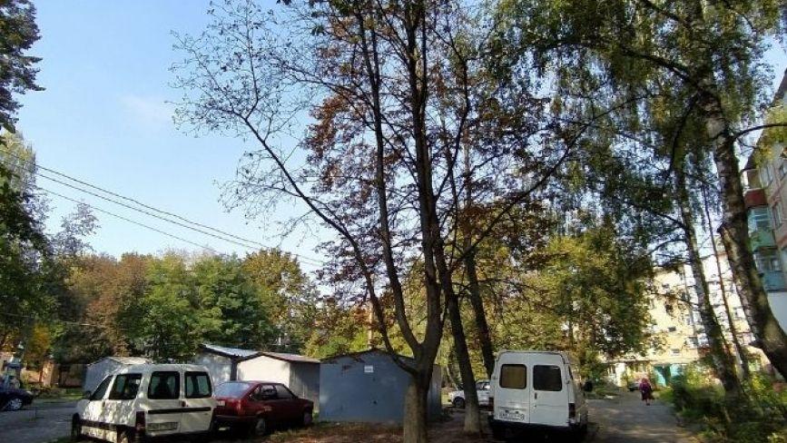 Хто обрізає дерева? На 600-річчя сухі каштани можуть звалитися на авто і людей