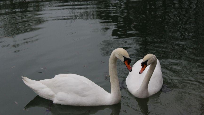 На озеро біля Центрального парку повернули пару лебедів. Скоро птахів там стане більше