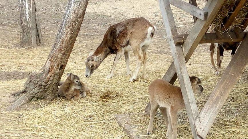 У Подільському зоопарку бебі-бум.З'явилося чотири муфлони