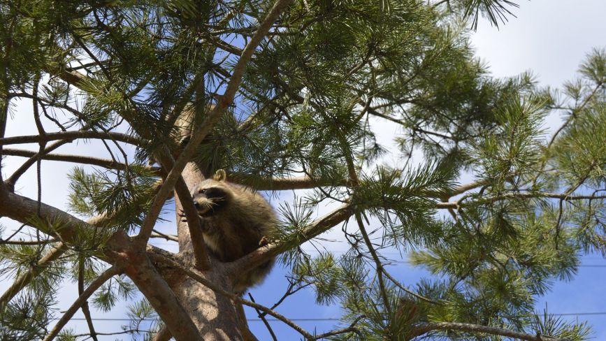 ФОТО ДНЯ. Єноти із зоопарку в пошуках тепла вилізли на верхівку сосни