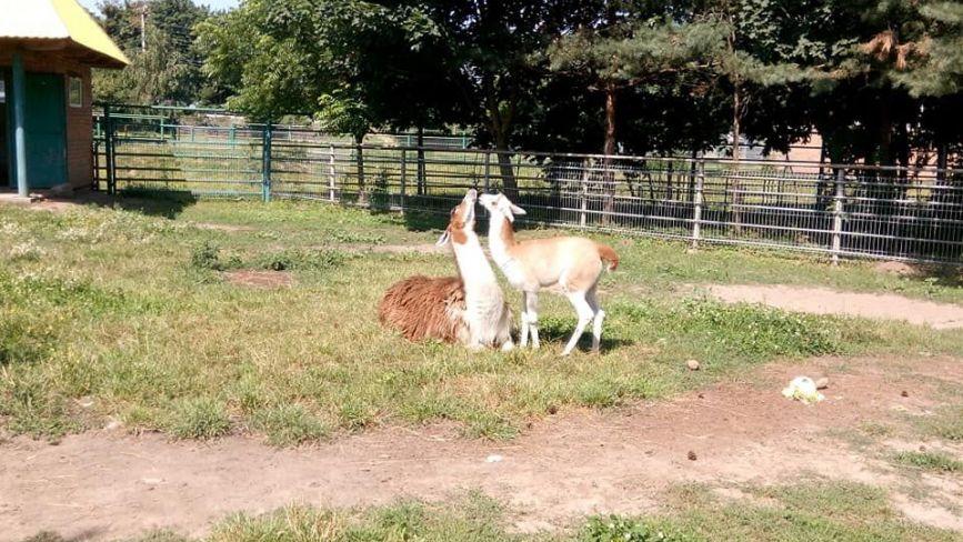ФОТО ДНЯ. У Подільському зоопарку «цілуються» лами
