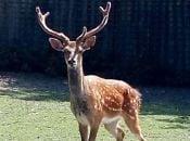У Вінницькому лісгоспі новий мешканець — самець оленя плямистого