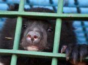 Гімалайські вже сплять, а бурі ще ні: як живуть ведмеді у Подільському зоопарку
