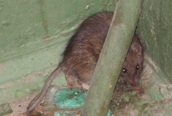 До багатоповерхівки на Л.Толстого забрався та налякав мешканців великий щур
