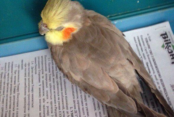 У Хмільнику розшукують власника папуги з жовтим чубчиком