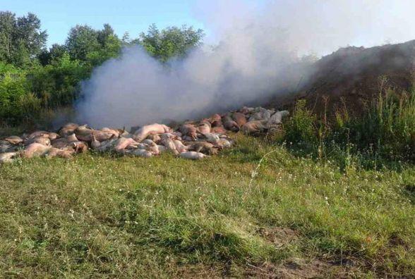 На Вінниччині знов спалах африканської чуми. Спалили понад 300 свиней