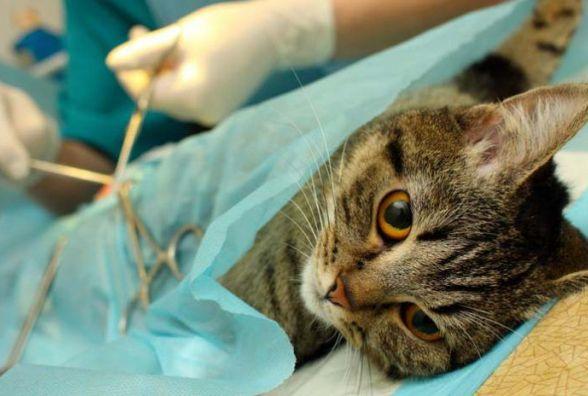В суботу волонтери забиратимуть з Калинівки кішок на безкоштовну стерилізацію