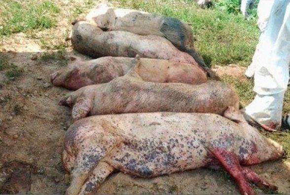 На Вінниччині у двох селах карантин. Виявили африканську чуму свиней