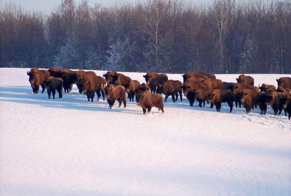 Сотня зубрів, півтисячі оленів та двадцять котів. Скільки тварин живе у вінницькому лісі?