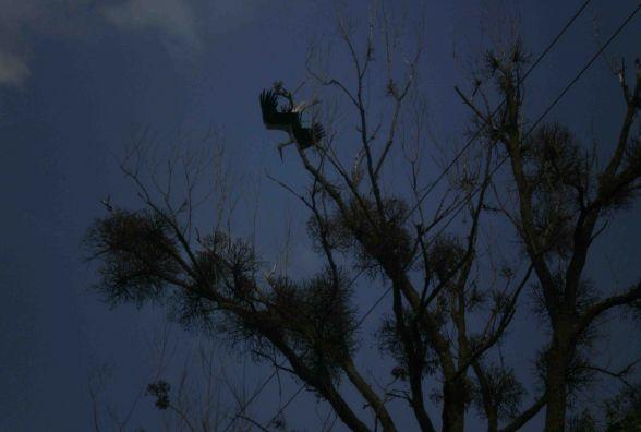 На Вінниччині лелека заплутався на дереві. На допомогу викликали рятувальників