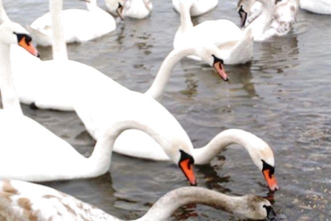 На Вінниччині люди охороняють лебедине царство від мисливців