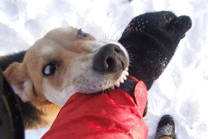 Агресивні пси на вулицях Вінниці: куди звертатися та як захиститися?