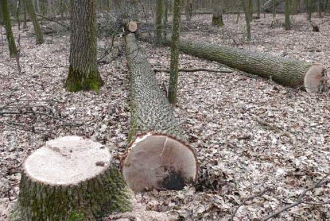 На Літинщині четверо чоловіків виконували замовлення: зрубали 15 дубів