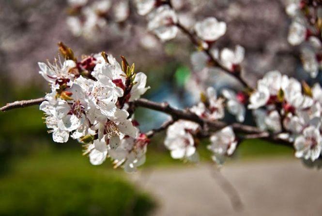 «Операція захистити цвіт». Як можна врятувати фрукти від сьогоднішніх заморозків