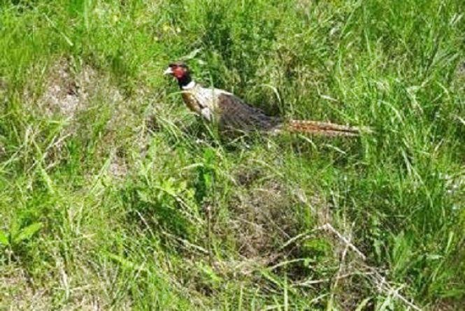 На Немирівщині оселилося 109 фазанів. ФОТО