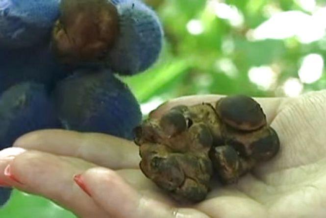 Вінницький фермер на грибах заробляє до 90 тисяч гривень у півроку (ВІДЕО)