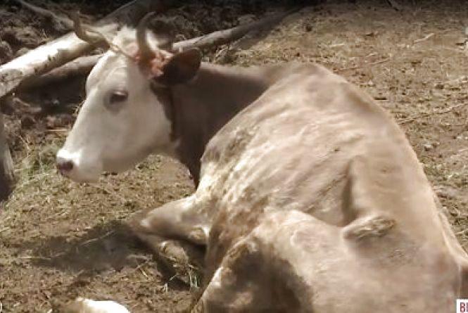 Концтабір для худоби: на Вінниччині сім'я морить голодом понад сотню корів