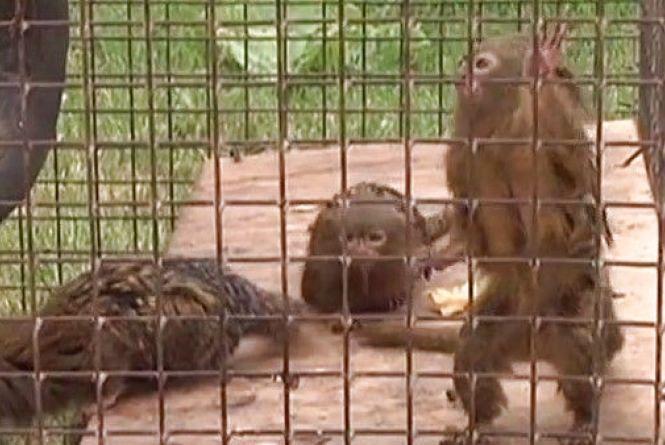 Квартет вагою менше кілограма: мімішні мавпенята приїхали до нас в зоопарк