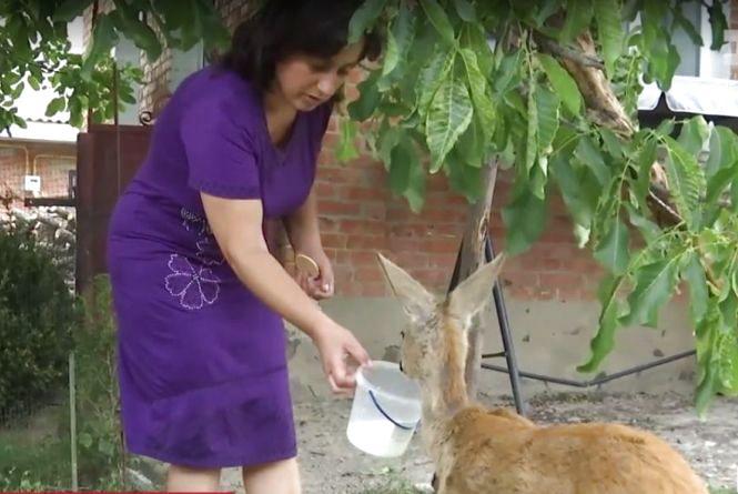 У дворі вінницької багатоповерхівки до дерева прив'язали дику косулю (ВІДЕО)
