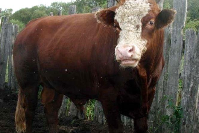Гніванчанина, який став безхатьком після смерті дружини, затоптав бик