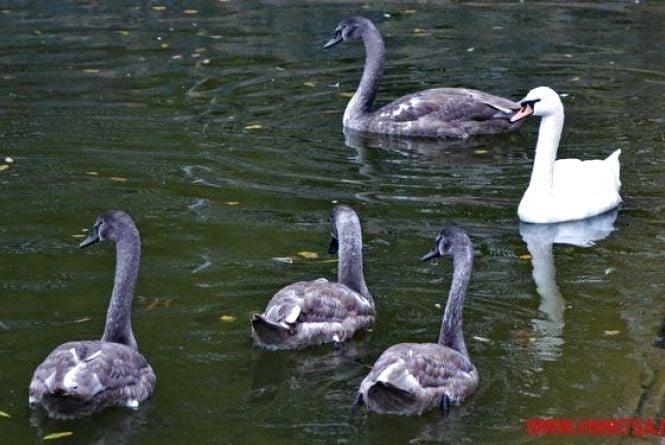 Двох лебедів з озера біля парку заберуть до київського зоопарку
