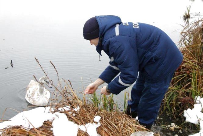 По очерету, на човні і з хлібом: як рятувальники дві години ловили лебедя на Вишенському озері