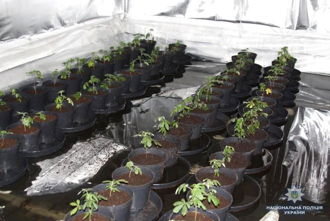 На Вінниччині росіянин вирощував коноплі, щоб лікувати рак