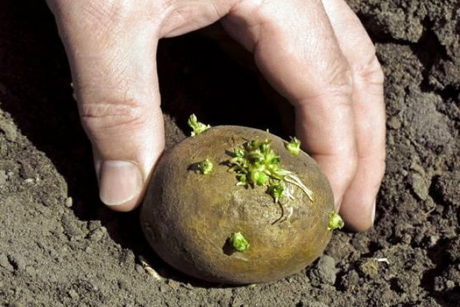 Як посадити картоплю і «не пролетіти»