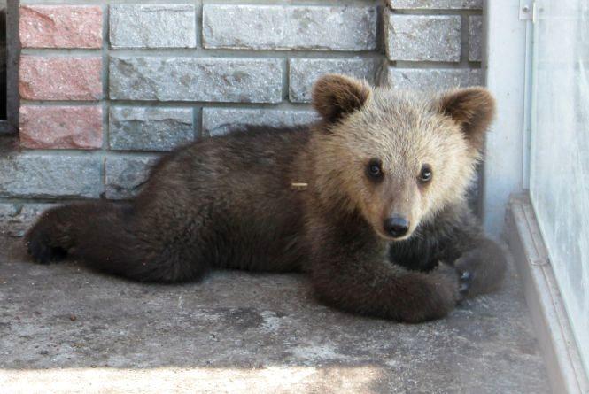П'ять ведмедиків завезли у наш зоопарк.  Як їм живеться?