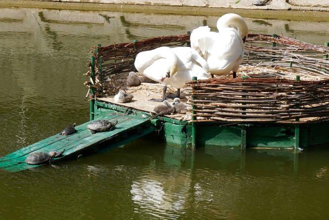 На лебединому озері з'явилось шестеро нових птахів