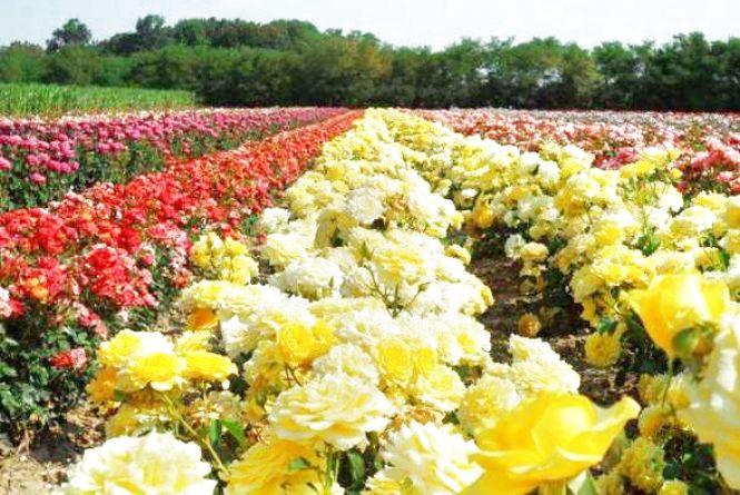 Шість гектарів трояндового раю: на Вінниччині розквітли елітні квіти