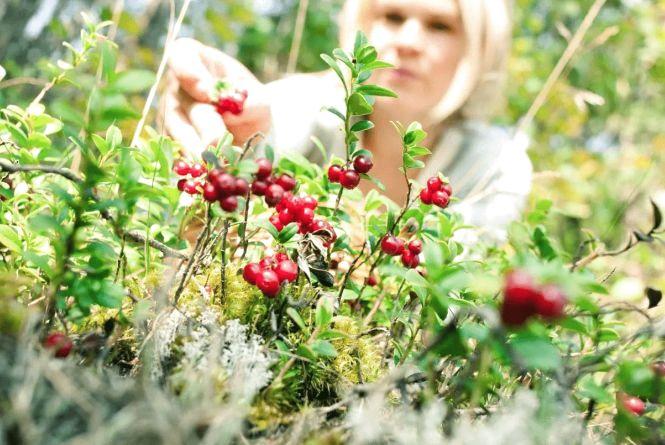 Чи легко вас отруїти лісовими ягодами? Тест