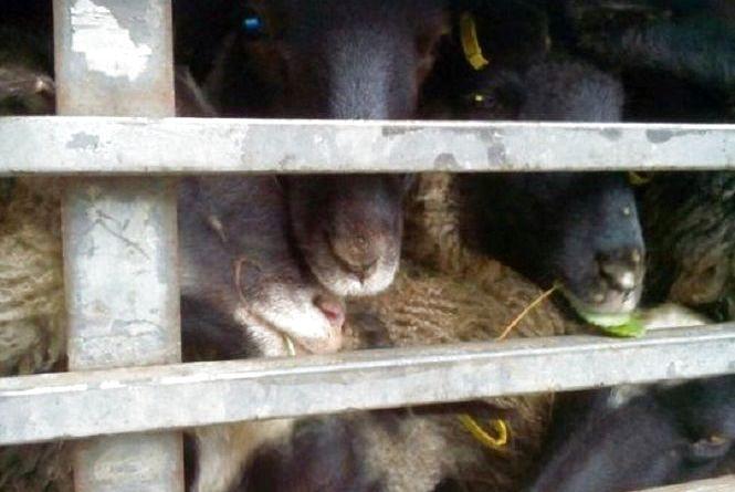 На Вінниччині утилізують овець, яких не пустили до Туреччини