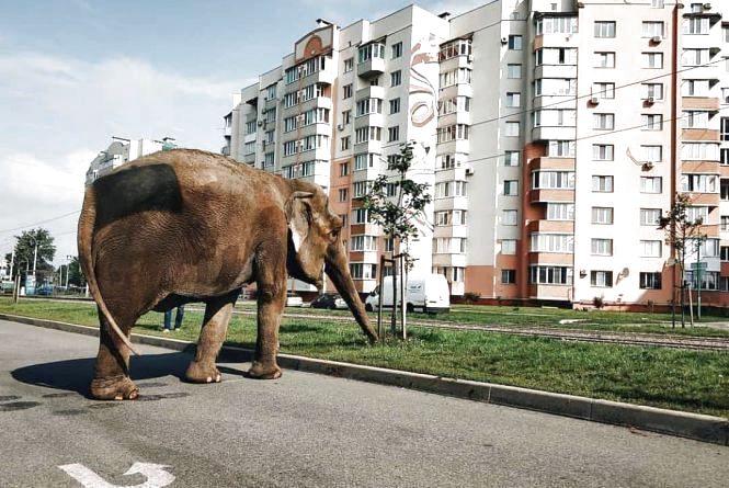 Померла слониха Майя, яка втекла з цирку та гуляла по Вишеньці