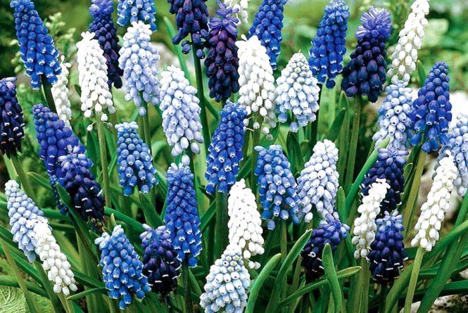 У місті висадили квіти, які зацвітуть «ледь встигне розтанути сніг»