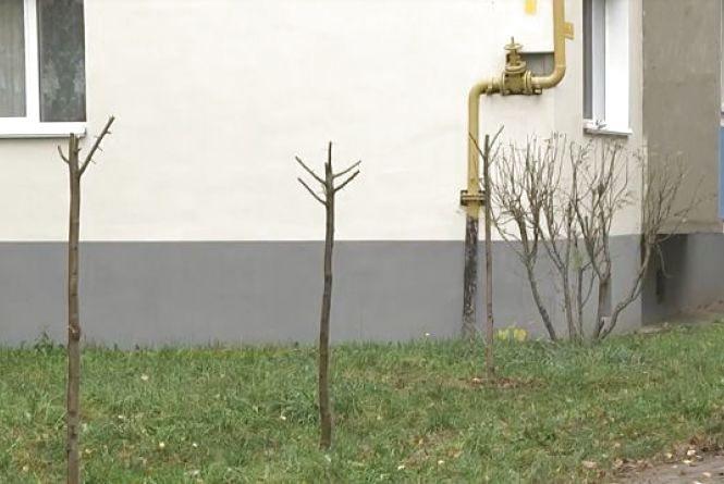 На Келецькій пенсіонер обрізав липи, які нещодавно висадили у дворі
