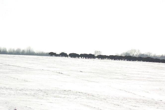У «Хмільницькому лісгоспі» живе 95 зубрів. Це найбільша популяція в країні