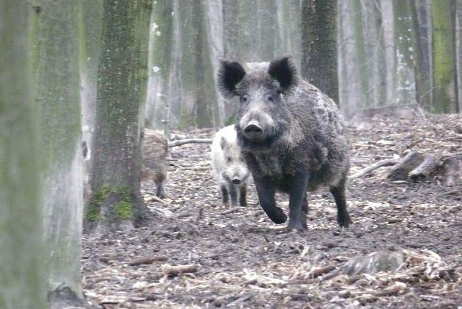 Зайці, вовки і лісові коти. Вінницькі лісівники порахували диких тварин