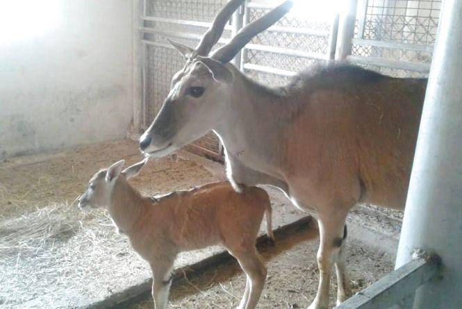 «Батько часто облизує донечку»: у Подільському зоопарку антилопа народила дитинча