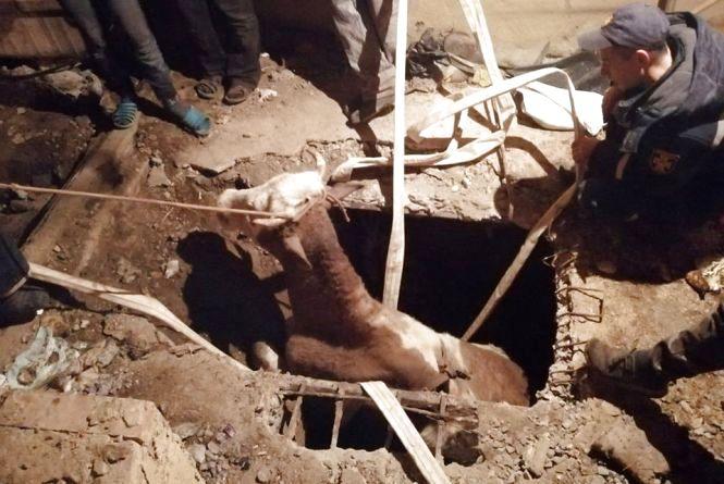 Корова впала до погреба: тварину діставали понад 3 години