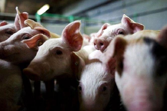 Спалили понад тисячу тварин: на Козятинщині спалах африканської чуми свиней
