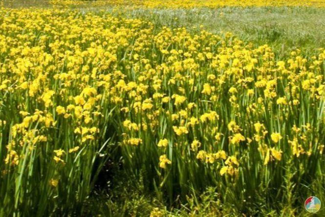 13 гектарів кохання: знову на Вінниччині зацвіла унікальна долина ірисів