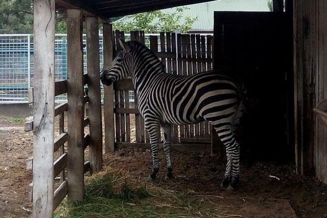 Подільський зоопарк шукає хлопчика для красуні Тіри, яка живе у вольєрі
