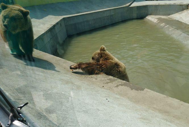 Малюк-верблюд та ведмеді в басейні: новинки вінницького зоопарку