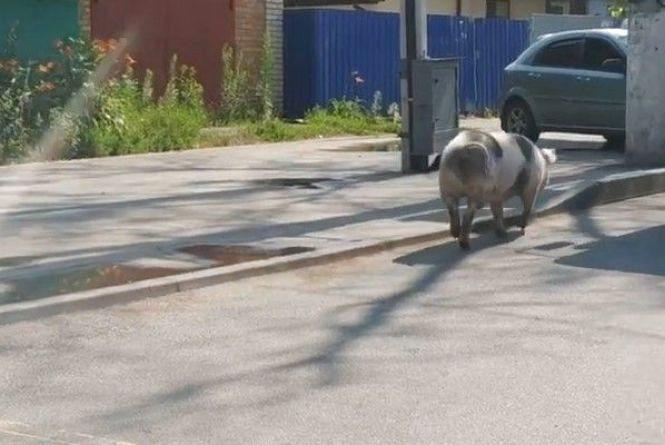 Свиня втекла по дорозі на бійню та бігла на Чехова по проїжджій частині